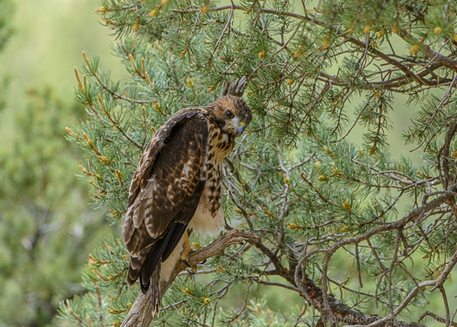 Landing in a small pinyon tree, this young hawk found itself facing inward with no obvious exit. Part of learning to fly and land is using their considerable intellect to get out of difficult places.