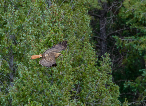 Red-tailed Hawk [Buteo jamaicensis]