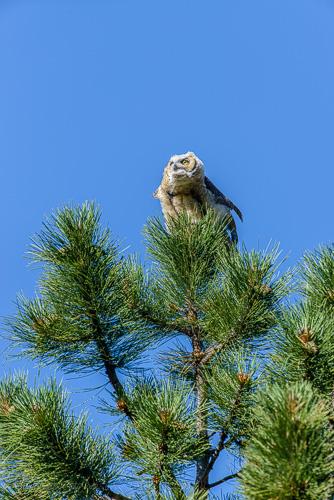 Fledged Great Horned Owl