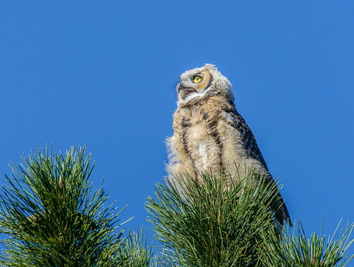 Calling Young Great Horned Owl
