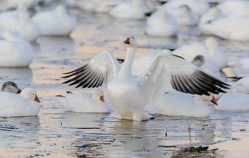 Getting ready for the day a snow goose stretches.