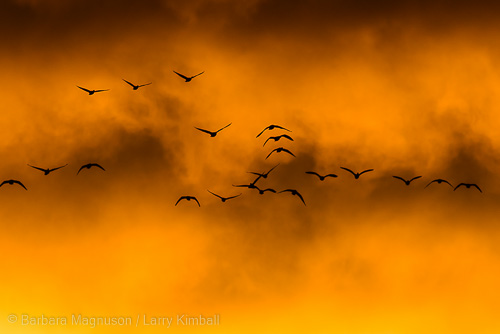 Snow geese fill the sky at sunrise.