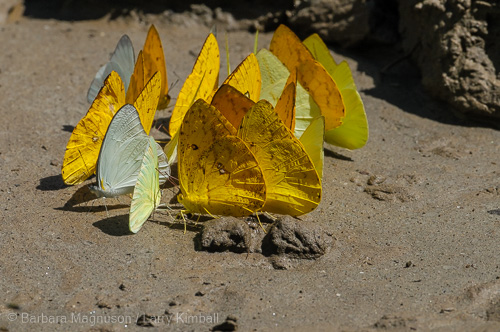 Butterflies congregating on Napo River tributary mud, gathering minerals and nutrients in Yasuni National Park, Ecuador