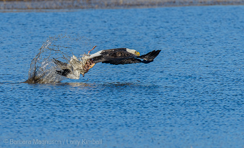 Eagle trying to move goose carcass to dry land