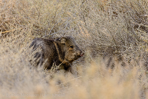 Javelina browsing brush along south loop refuge road