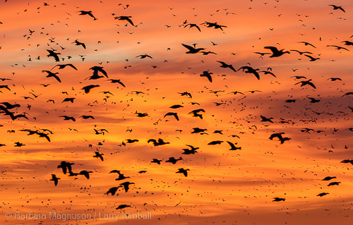 Filling the sky with birds at sunrise.