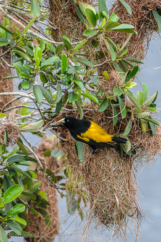 Yellow-Rumped Cacique, displaying and protecting nest hanging over Laguna Anangucocha, Napo Wildlife Center, Ecuador