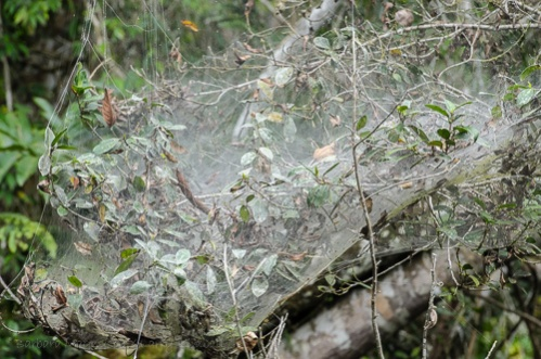 Communal or social spider web. These are huge aggregations of small spiders, this web is about 6+ feet by 5+ feet and several feet thick.