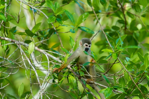 The Common Squirrel Monkey travels in noisy groups, constantly on the move, foraging along forest edges.