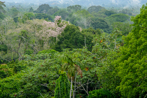 Looking across the rainforest canopy from the tower at the Napo Wildlife Center as mist rises, Yasuni National Park.