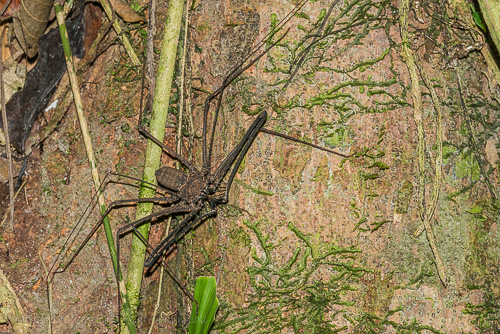 Whip Spiders are far more ferocious looking than dangerous (unless you are a small insect).
