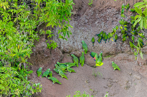 Several species of parrots throng to clay and mineral banks, this one on the Napo River in Yasuni National Park. Eating clay helps with digesting the toxins found in some of the seeds eaten.