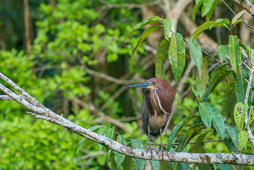 Rufescent Tiger-Heron along blackwater creek, Yasuni.