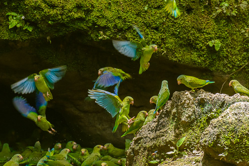 Cobalt-Winged Parakeet [Brotogeris cyanoptera]