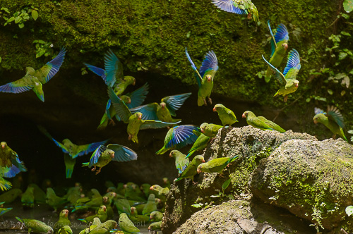 Cobalt-Winged Parakeets gather at mineral seep in Yasuni National Park.