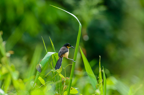 Black-Capped Donacobius clings to stream side foliage.