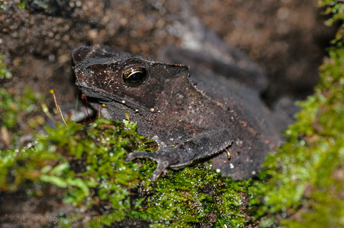 Crested Forest Toad, one of many amphibian and reptile species seen in Yasuni.