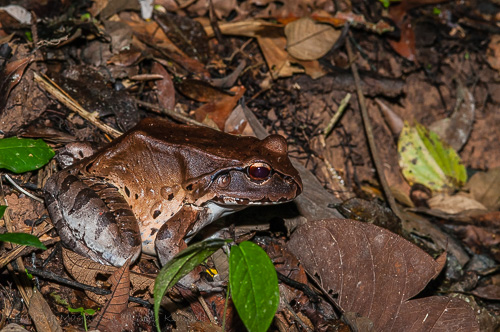 Smokey Forest Frog