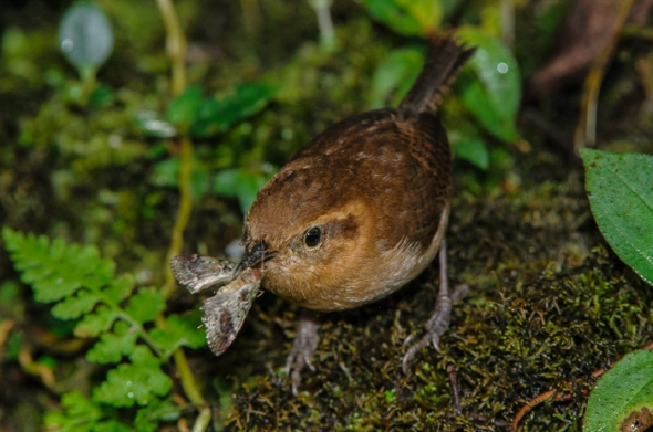 Mountain Wren, with thousands of species, moths are a staple for insect eating birds.