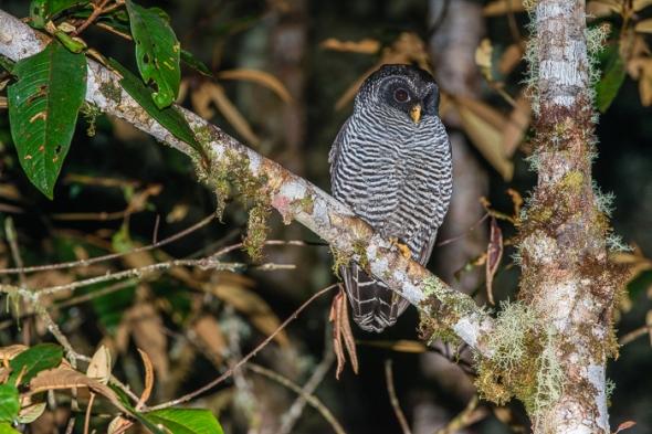 San Isidro Owl [Ciccaba sp. ?]