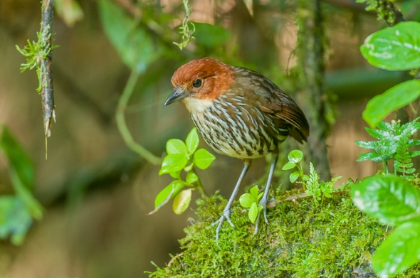 Chestnut-Crowned Antpitta, seldom seen forest floor dweller, whistled out of hiding.