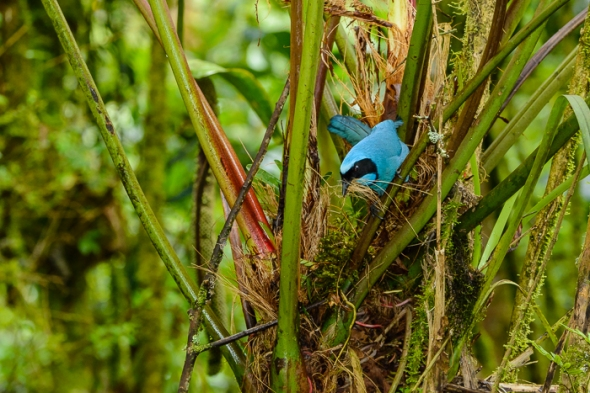 Turquoise Jay, from the chilly Guango Lodge.