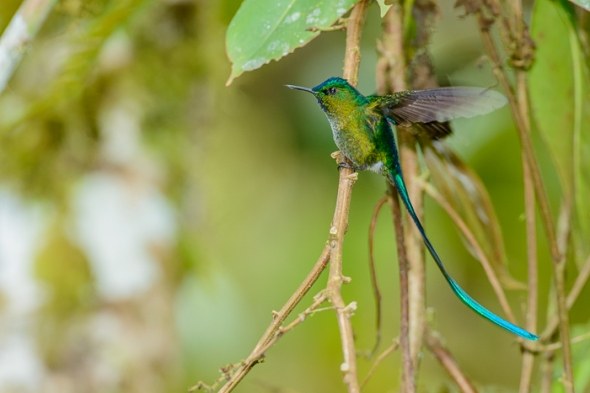 Long-Tailed Sylph Hummingbird