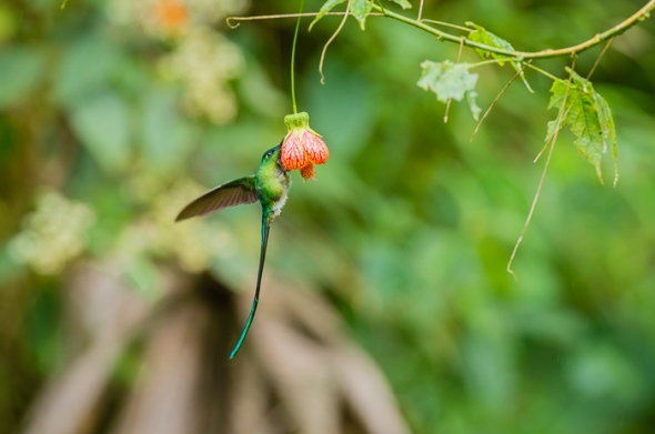 Long-Tailed Sylph Hummingbird.
