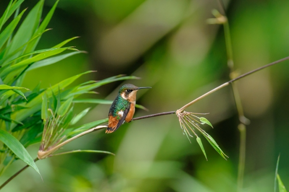 Gorgeted Woodstar Hummingbird
