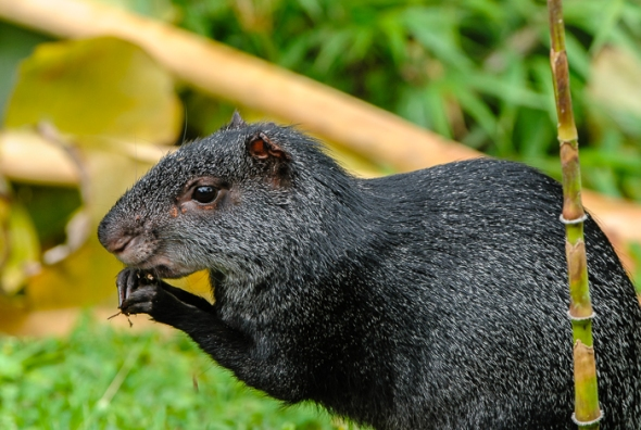 Also known as guatusa in Ecuador, the Black Agouti is common in mature as well as disturbed montane forest and rainforest.