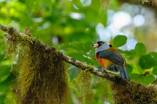 Toucan Barbet [Semnornis ramphastinus]