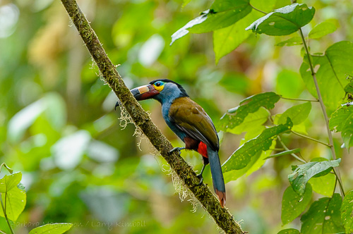 Plate-Billed Mountain Toucan [Andigena laminirostris]
