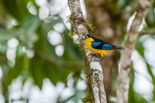 Blue-Winged Mountain Tanager [Anisognathus somptuosus]
