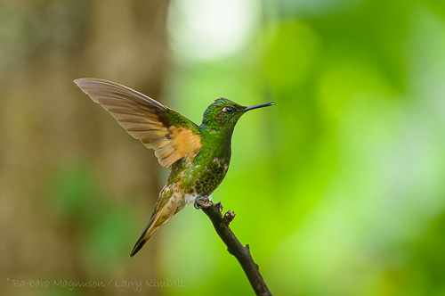 Buff-Tailed Coronet Hummingbird [Boissonneaua flavescens]