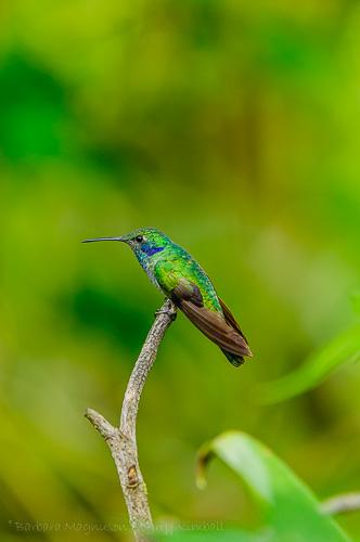 Sparkling Violetear [Colibri coruscans]