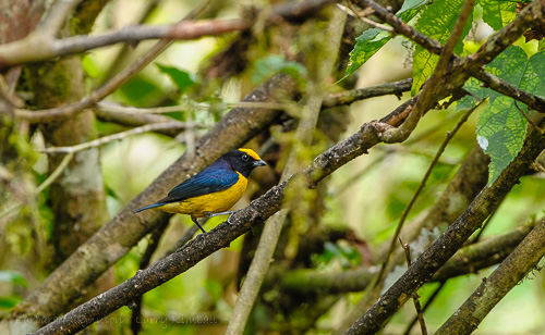 Thick-Billed Euphonia [Euphonia laniirostris] male