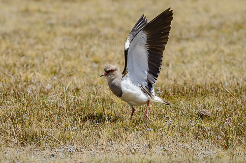 Andean Lapwing [Vanellus resplendens]