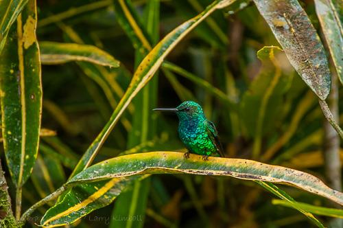 Western Emerald [Chlorostilbon melanorhynchus] male