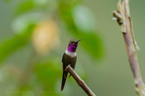 Purple-Throated Woodstar [Calliphlox mitchelii] male