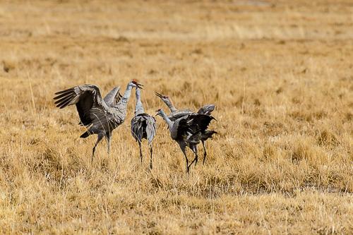 Sandhill Crane [Grus canadensis]