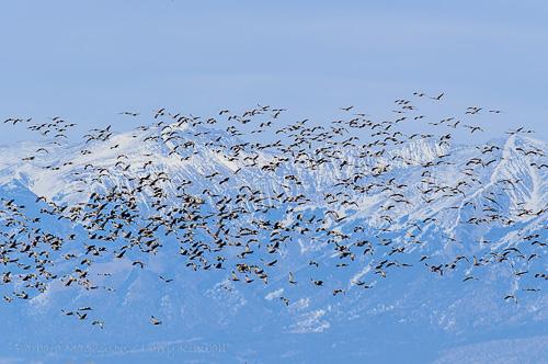 Sandhill Cranes [Grus canadensis]
