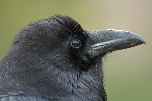 Common Raven [Corvus corax]