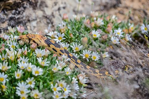 Bull Snake [Pituophis catenifer]