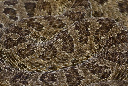 Western Prairie Rattlesnake [Crotalus viridis]