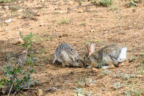 Nuttall's Cottontail Rabbit [Sylvilagus nuttallii]