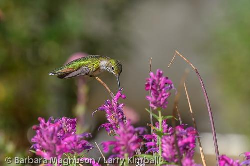 Broad-tailed Hummingbird [Selasphorus platycercus]