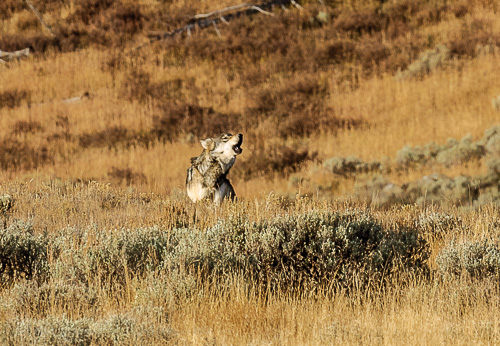 Gray Wolf [Canis lupus]