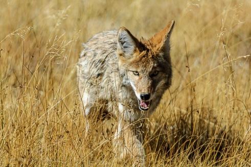 Coyote [Canis latrans]