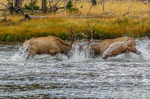 Rocky Mt. Elk [Cervus elaphus]